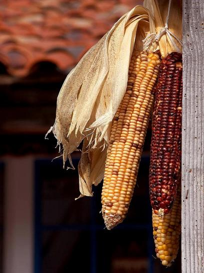 dried, corn, cobs