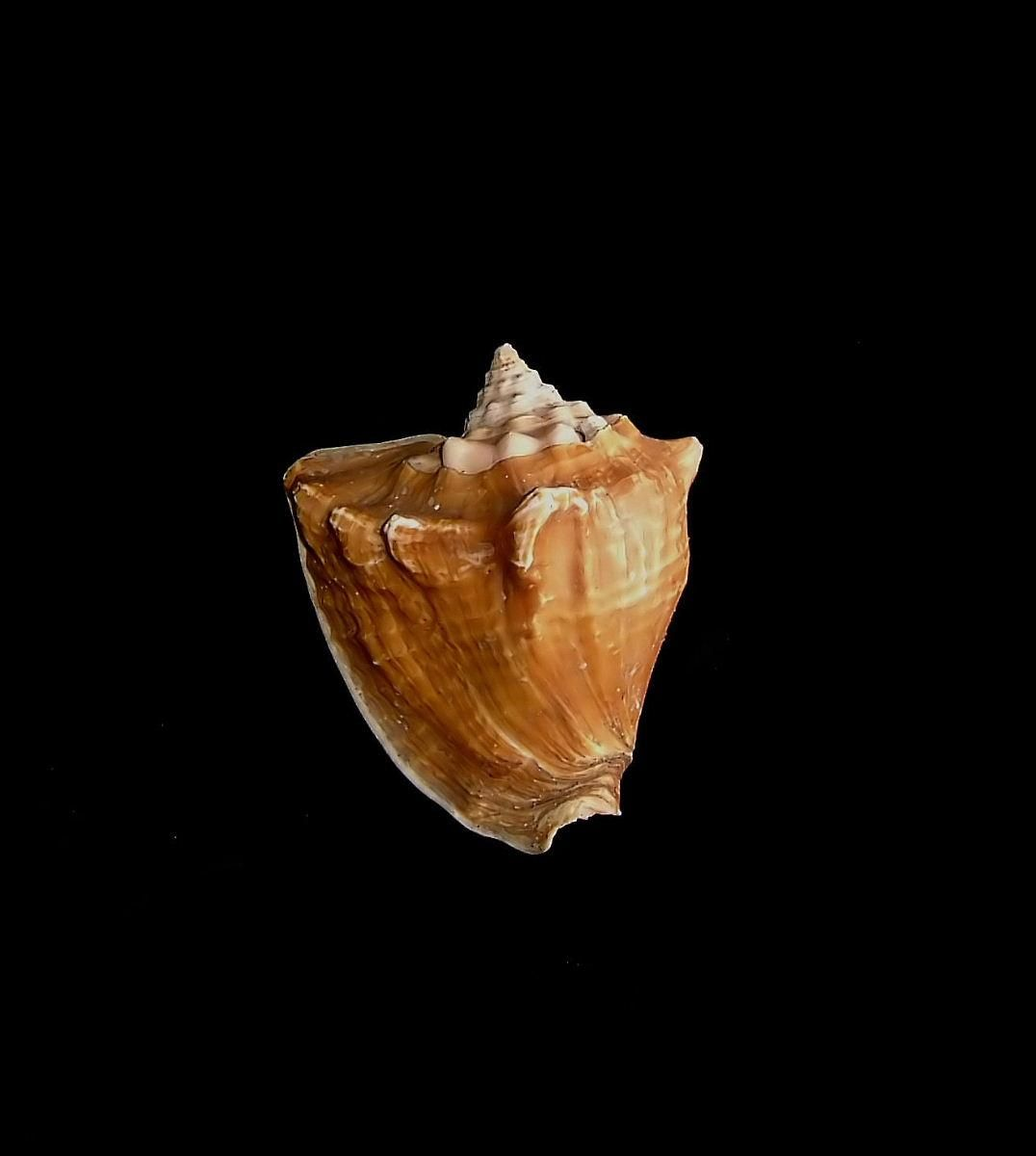Free Picture Sea Shell Black Background