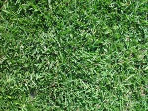 buffalo, grass, texture