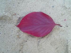 automne, cornus, congé, texture
