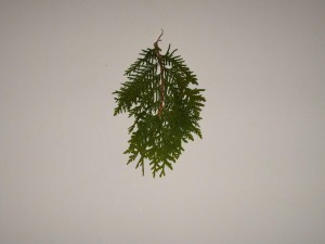conifer, leaf, leaves, branch