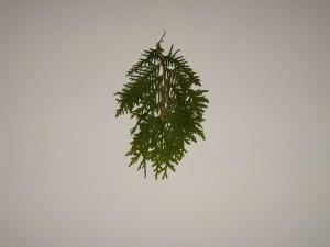 conifère, feuille, feuilles, branche