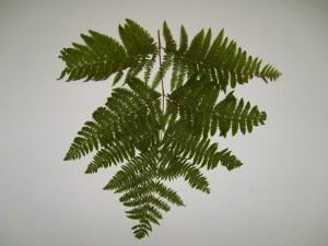fougère, feuille, feuilles, branche, texture