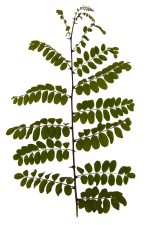 leaf, leaves, branch, acacia