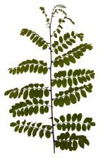 feuille, feuilles, branche, acacia