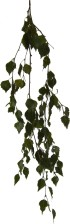 feuille, feuilles, branche, bouleau, alpha