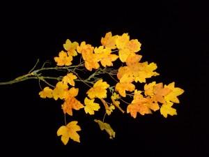 feuille, feuilles, branche, érable, automne, nuit, studio