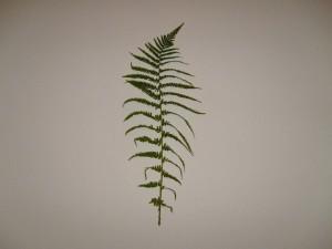 feuille, feuilles, branche, texture, fougère