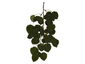 feuille, feuilles, branche, fond blanc