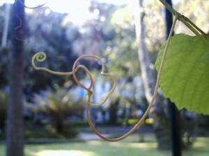 leaf, passion, fruit, plant