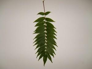 staghorn, sumac, essigbaum, leaf