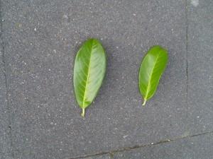 deux feuilles,