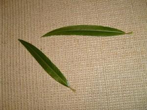 Weide, Blatt, Blätter