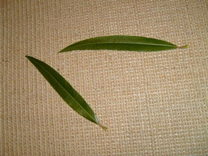saule, feuille, feuilles