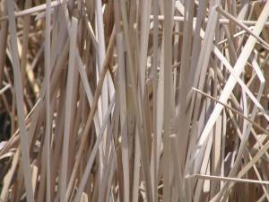 reeds, plant, close