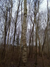 birch, tree, cortex, trunk, forest