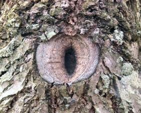 knot, young, walnut, tree