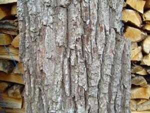 vieux, arbre, écorce