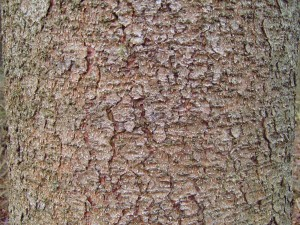 pin, arbre, écorce, texture