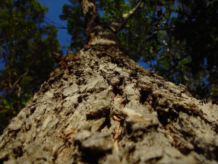 redgum, pohľad, kôra stromu