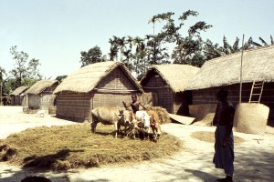 village, scene, streets, small, town, Bangladesh, boy, cows