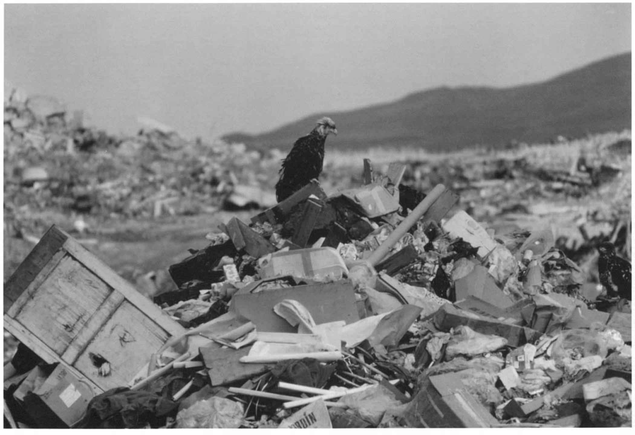 Black and white old photo bald eagle adak island dump