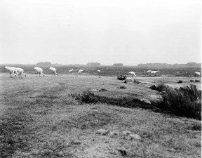 black and white, old, photo, whooping, cranes