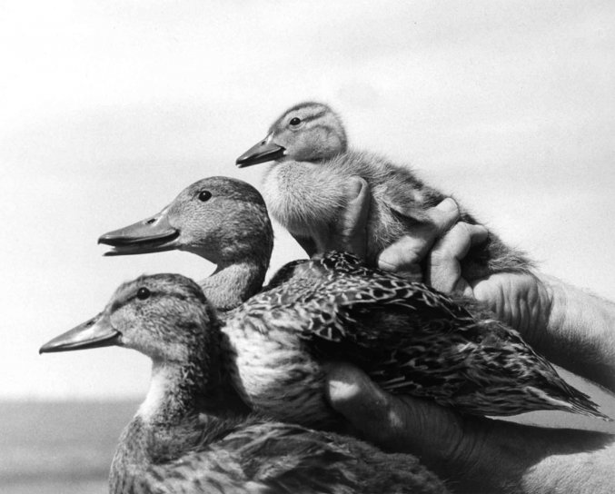 ducks, birds, vintage, animal, photo