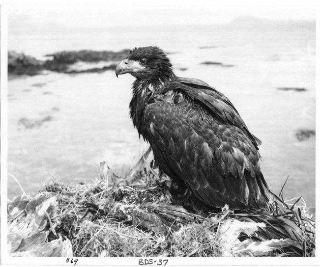 fledgling, bald, eagle, nest, vintage, old, historical, photo