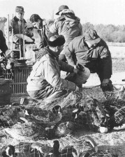 historical, photo, people, goose, banding, operation
