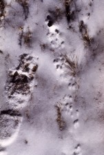 small, mouse, tracks, snow