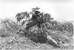 immature, chick, bald, eagle, nest, black and white photography, haliaeetus, leucocephalus