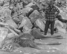 man, beside, cow, moose, killed, wolf, pack, vintage, photo