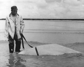 člověka, mrtvého, beluga velryba