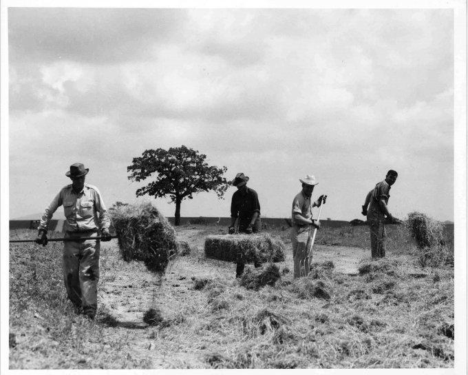 người đàn ông, làm việc, với nhau, trang trại, lĩnh vực, haying, hoạt động