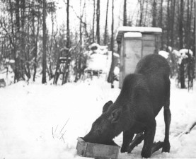 moose, calf, heifer, snow