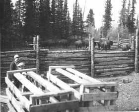 old, photo, bison, transplanting, operation