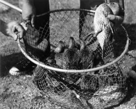 plusieurs, canards, net