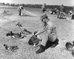trapping, banding, waterfowl, vintage, animal, photo