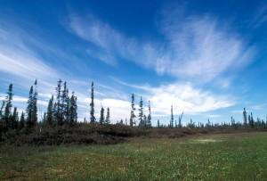 bog, sporadic, spruce, beautiful, sky, clouds