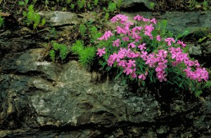 Carolina, vill, rosa blomster, blomstrer, steiner, moss