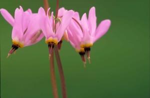 από κοντά, φωτεινά ροζ, άνθη, κίτρινα, εμφάσεις, σκοτάδι, ροζ, στημόνας