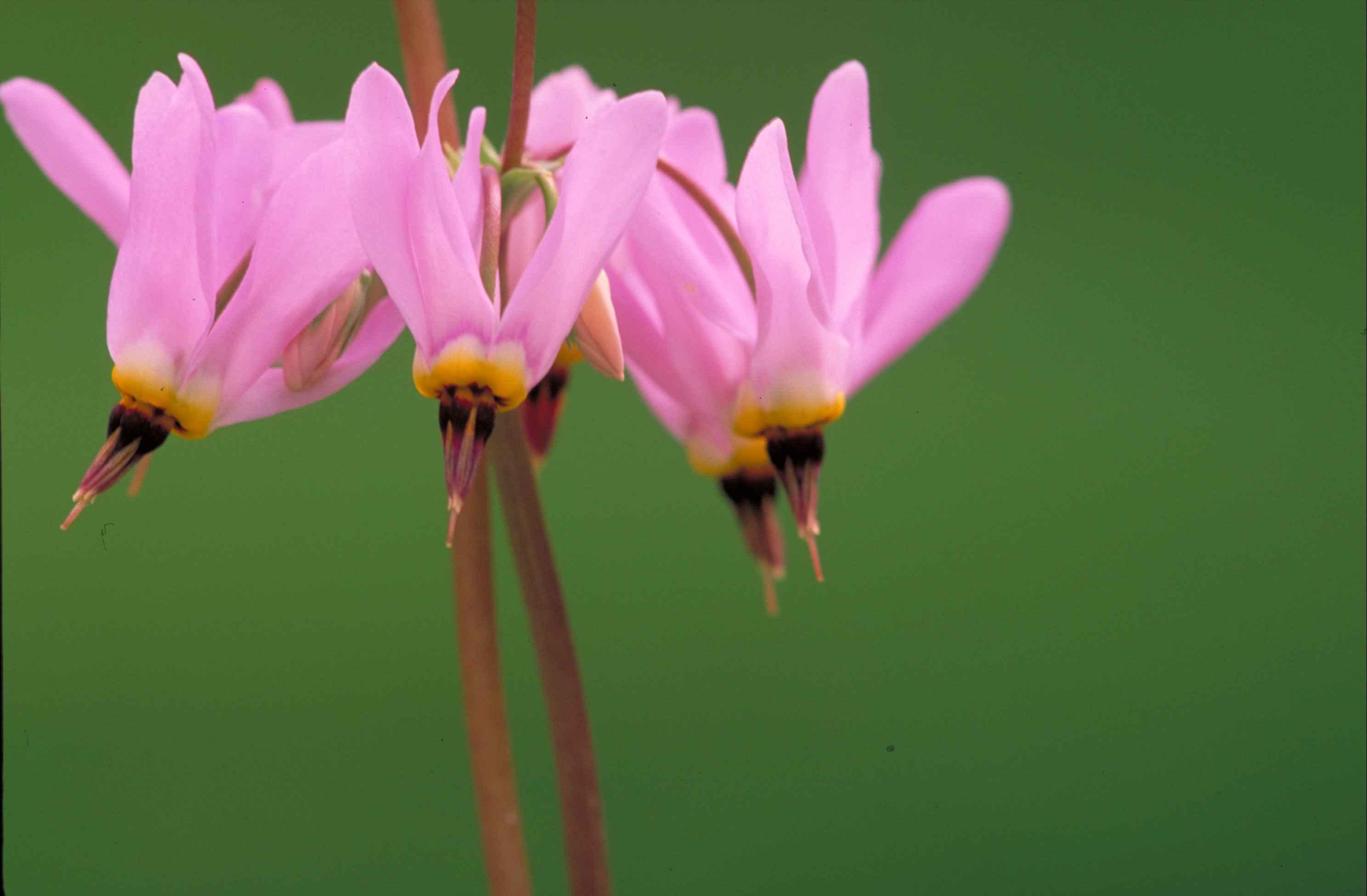 image libre: de près, rose vif, fleurs, jaune, accents, foncé