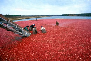 cranberry, harvest, Jersey