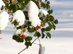 holly, berries, snow