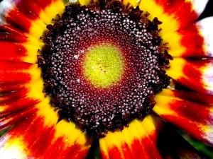 semená, kvet, zblízka