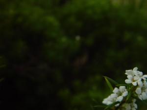 petite, fleurs blanches, fond, sombre, fond