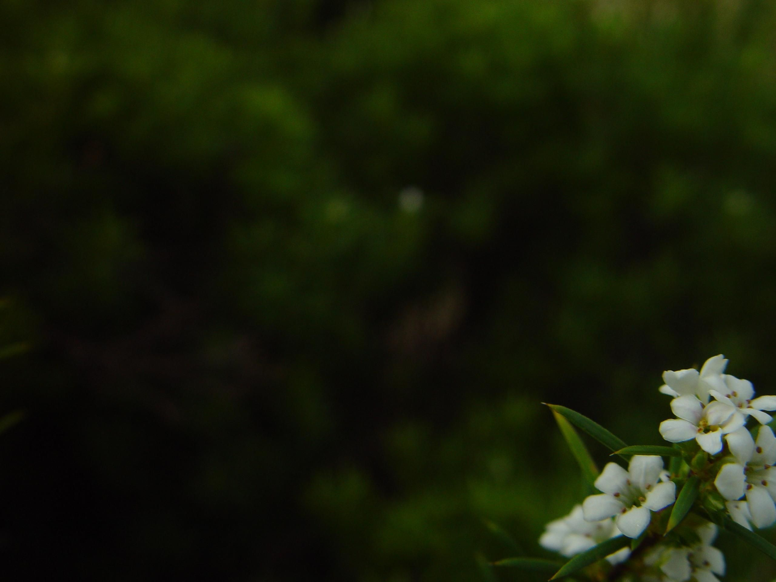 Free Picture Small White Flowers Bottom Dark Background