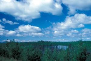 vastag, alacsony, növekvő, fenyő, nyír, erdei, környező, tó