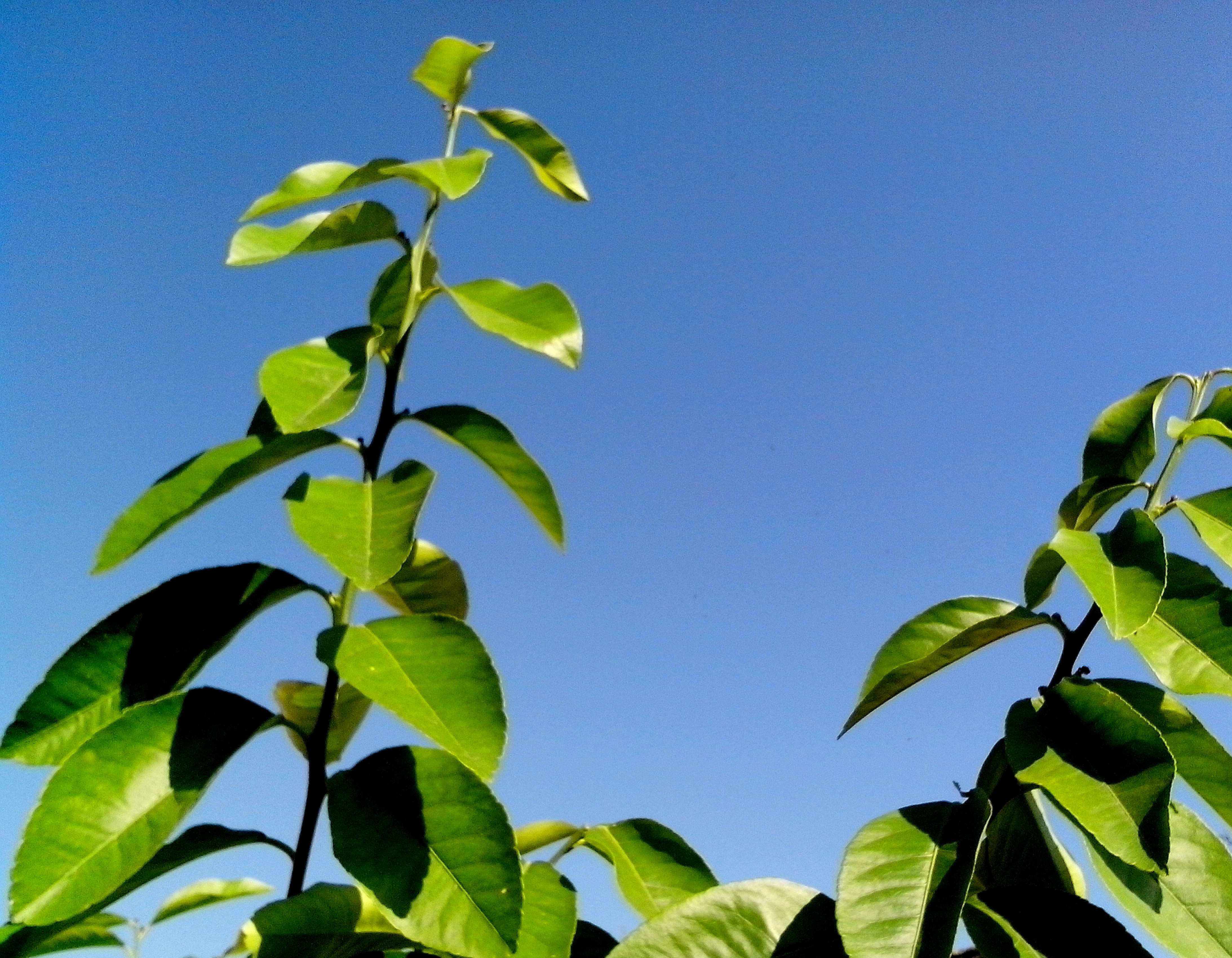 Free photograph; top, green, branches, lemon, against, sky